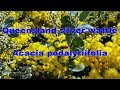 watch he video of Queensland silver wattle Acacia podalyriifolia