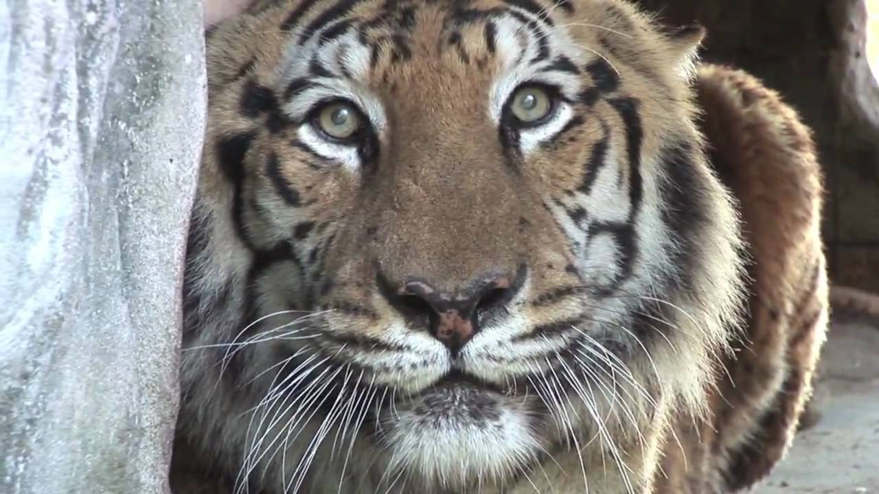 SAVE THE TIGER! - YouTube