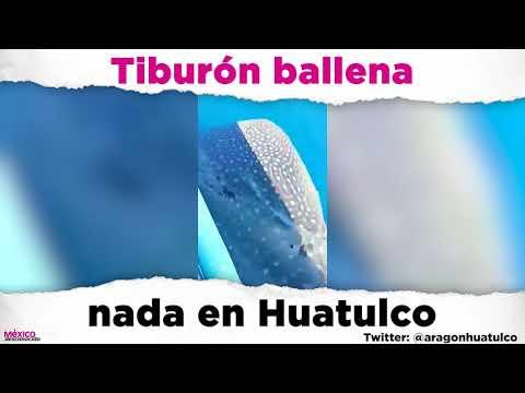 Tiburón ballena nada en Huatulco