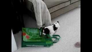 English Springer Spaniel Pup & Cat