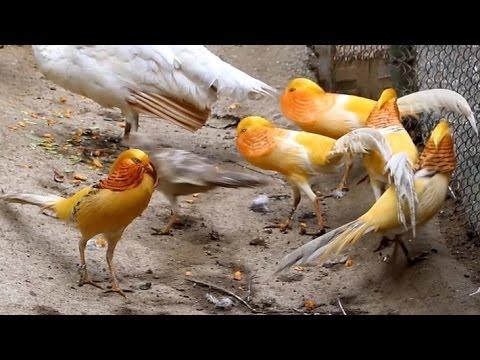 Peach yellow golden pheasants - dancing