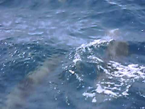 Pod of Dolphins Offshore Daytona Florida
