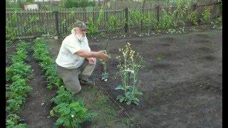 Выращиваем семена капусты