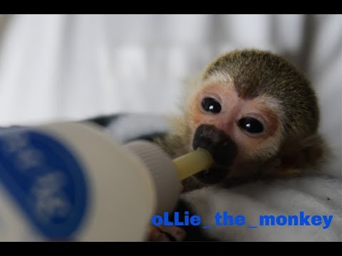Baby Monkey oLLie Tries A Bottle