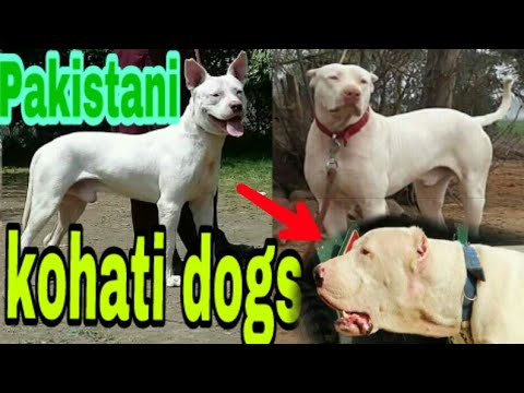 Kohati Gultair Dogs market
