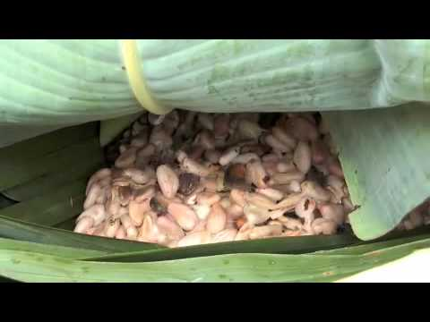 Fermentation the cocoa in Ivory Coast