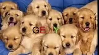 مهرجان الكلاب النسخة الجديدة 2017 Dogs music YouTube