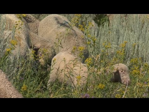 Controlling Leafy Spurge With Sheep On Tippet Rise Ranch