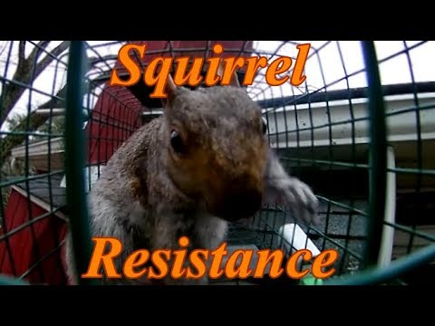 How To Dramatically Catch Squirrels In A Live Trap Youtube