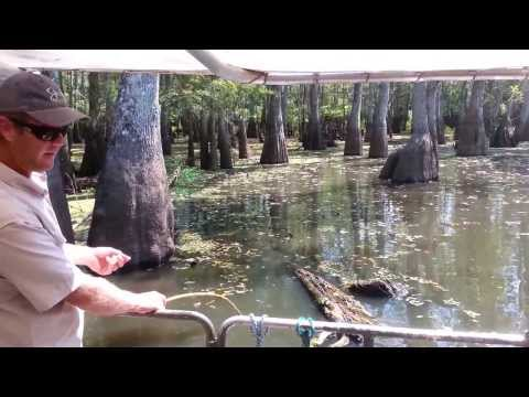 Guide Feeds Gator, Explains Hibernation, Honey Island Swamp Tour 9/9/2013
