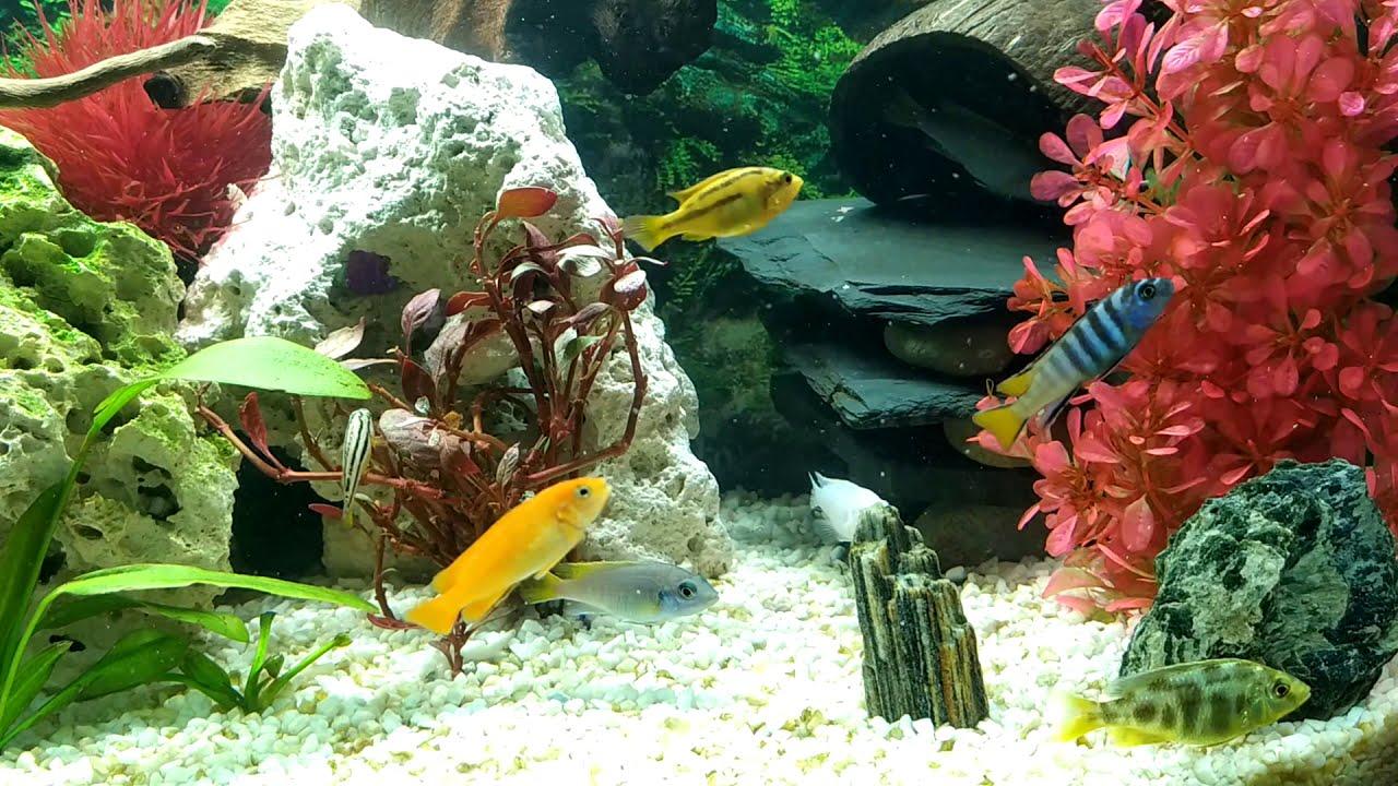 Akwarium Malawi Pyszczaki Aulonocara Najładniejsze Ryby ...