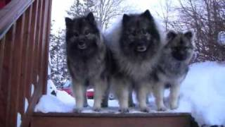 Upload to 2011/02/05 My Keeshonds in the snow Feb 2011 and their fr...