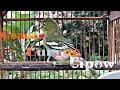 Suara Burung Sirtu Suara Burung Cipo Suara Burung Cipow Suara Burung Cipoh  Mp3 - Mp4 Download