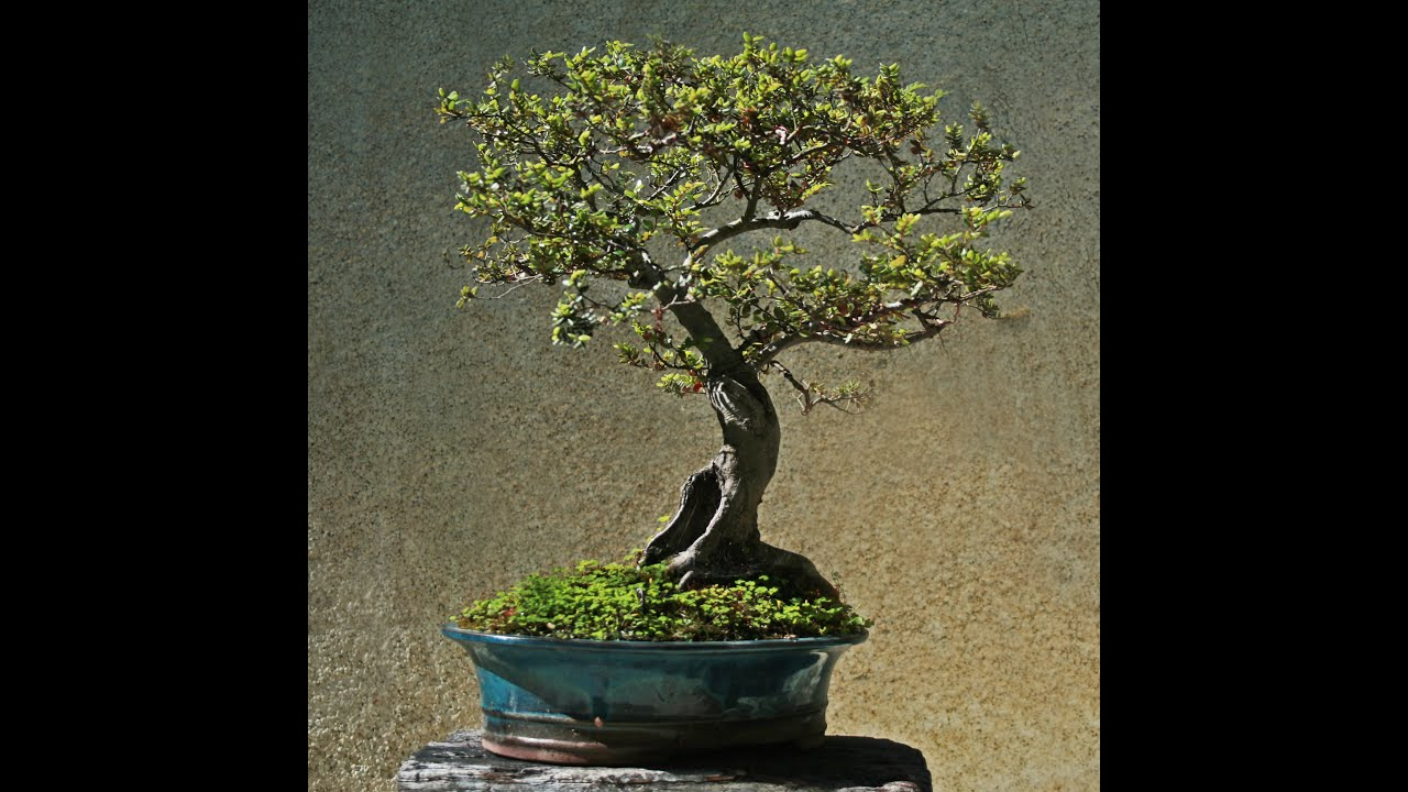 New Zealand Native Trees For Bonsai Black Beech Youtube