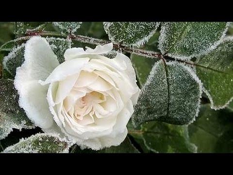 Белые розы ко дню рождения