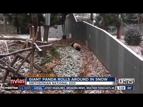 Adorable panda plays in snow at Smithsonian National Zoo