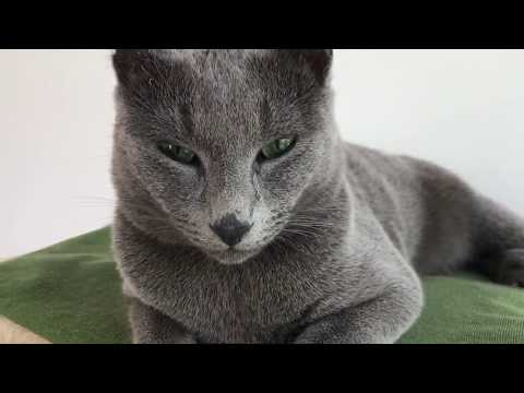 Mina - The Russian Blue Cat