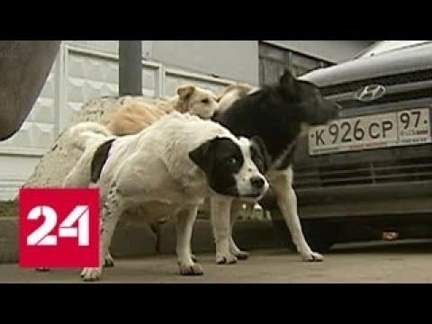 Своры бездомных собак держат в страхе жителей Подмосковья - Россия 24