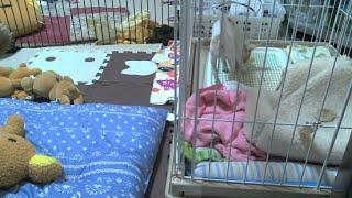 ロンちゃ②/② 小型犬 LIVE 24時間 定点カメラ パピー スムースチワワ thumbnail