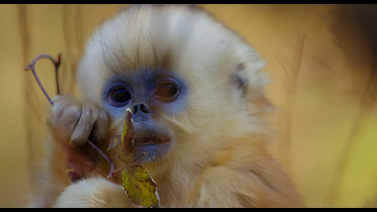 Disneynature's Born in China – Now Playing!