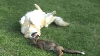 Dogs playing with wild fox cub in the woods