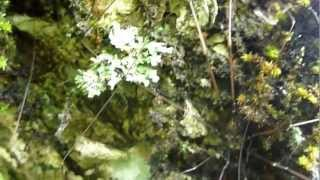 ブナ林で見つけたザトウムシの仲間