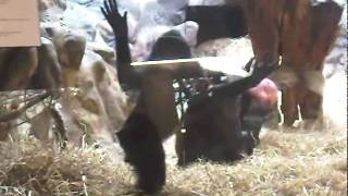 Repeat youtube video Celebes crested macaque  @ Zoo Antwerp