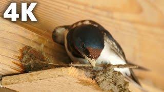 ツバメの巣作りの様子を4K画質で撮影しました。動画は巣作りを始めた日...