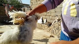 علاج قمل الدجاج مضمون 100%100 كمل لفيديو للخير