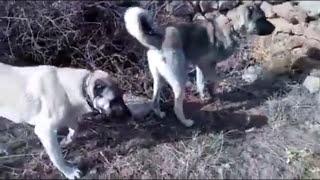 Sürüyü Koruyan Kangal Çoban Köpekleri Alan Taraması -  Ev  Hayvanları ve Hayvanlar