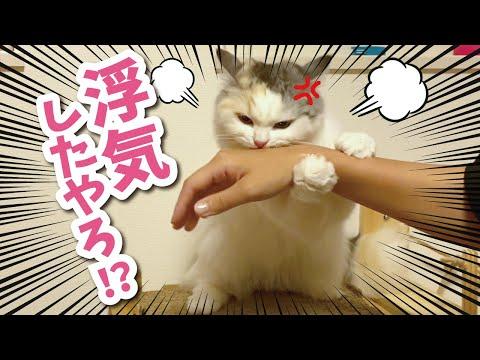 ペットショップで他の猫に浮気したらブチ切れられました【おしゃべりする猫】