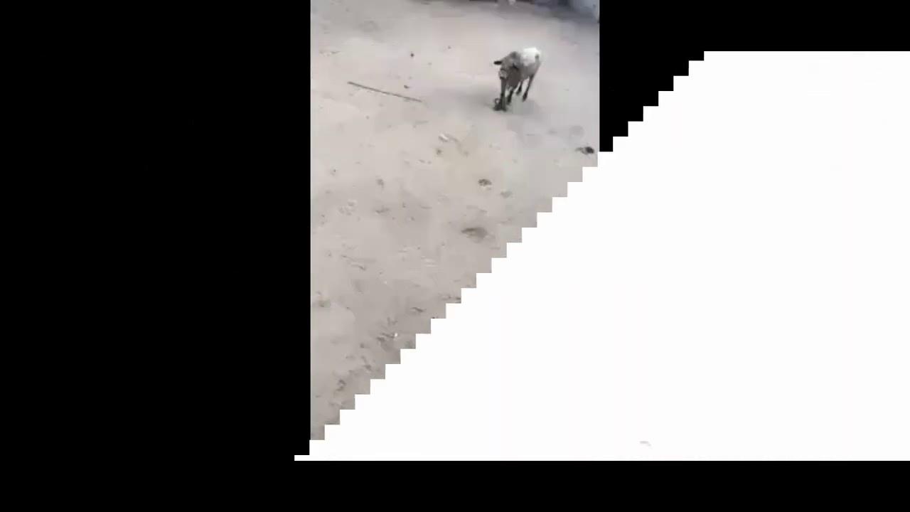 هجوم عجل على مواطن و لا تستهينو بقوة العجل - جمال العمواسي