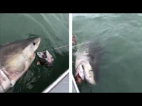 Fishermen stunned after catching Great White Shark on San Francisco Bay