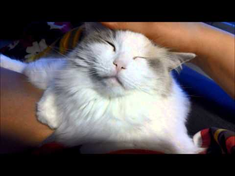 cute ragdoll cat shows love to the owner;)