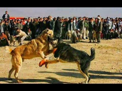 Tibetan Mastiff vs Alabai - Legendary Gladiators