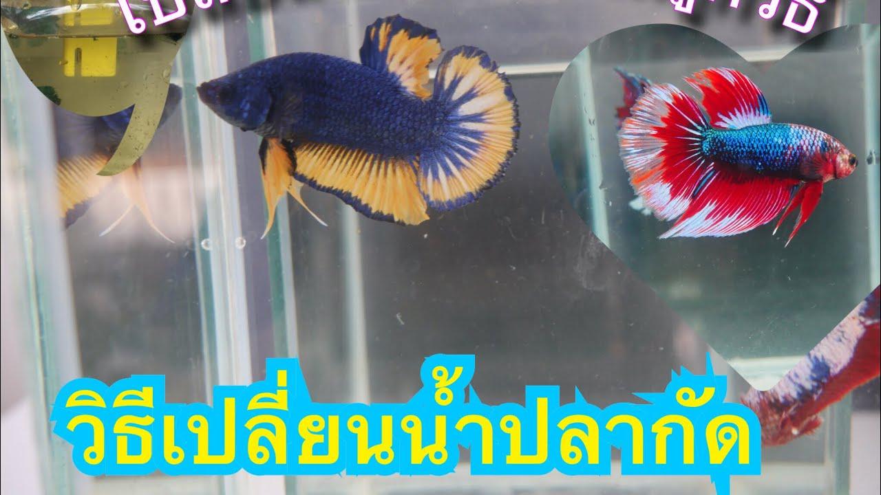วิธีเปลี่ยนน้ำปลากัดที่ถูกวิธี