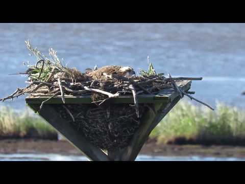 Osprey (Pandion haliaetus) Sitting on Nest - Blackwater National Wildlife Refuge