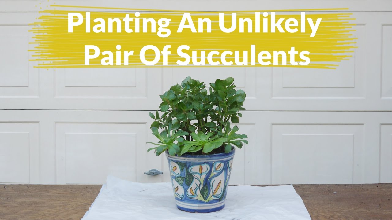 calandiva plant care instructions