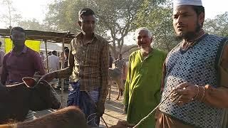 মীরগন্জ হাট বাছুর সহ দেশি গাভীর বর্তমান বাজার দেখুন।Dasi calf's & cattle market, mirgong,Nilphamari.