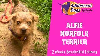 Alfie the Norfolk Terrier Puppy  2 Weeks Residential Dog Training