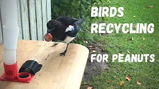 Magpie_trades 3 bottle-caps for food. High definition