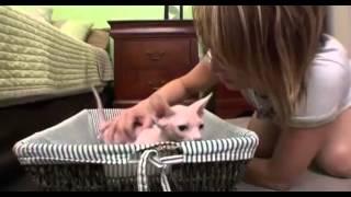кошки бывают всякие-бамбинос