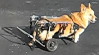 Calvin The Welsh Corgi In His Wheelchair