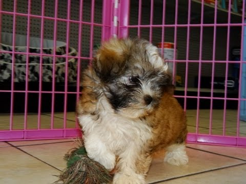 puppies for sale in columbia sc in columbia south carolina sc hava tzu puppies dogs 1356