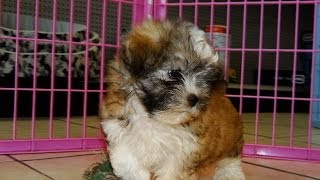 Hava Tzu, Puppies, For, Sale, In, Columbia, South Carolina, Sc, Newberry, Forest Acres, Oak Grove, P