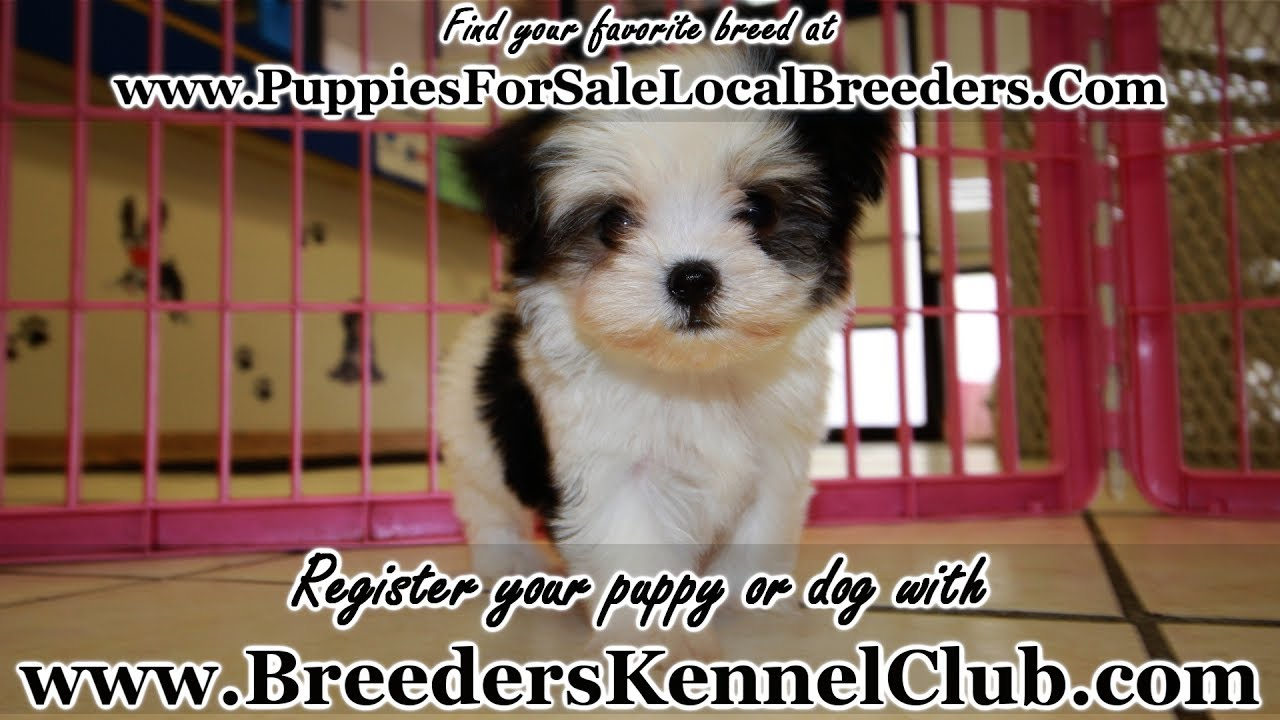 Black And White Teacup Morkie Puppies For Sale Georgia Local