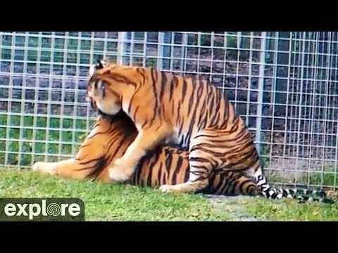 Tigers get frisky from YouTube · Duration:  1 minutes 20 seconds