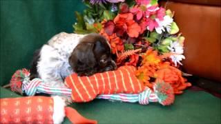 Brooklyn Female Chocolate Roan Cocker Spaniel Puppy For Sale
