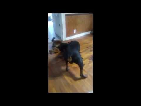 Doberman vs Rottweiler Fight Winner Takes All
