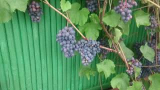видео Виноград Агат Донской